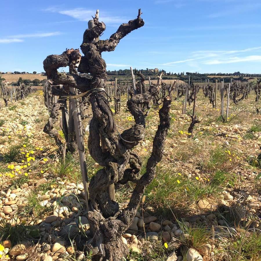 【出・張中】Sunny day with old vines